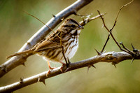 Immature White-throated Sparrow