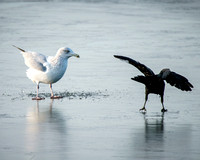 American Crow v.s. Ring-billed Gull