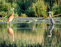 Sandhill Crane and Great Blue Heron