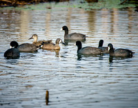 American Coot & Blue-winged Teal