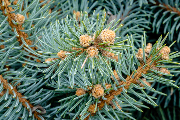 "Pica Pungens ""Globe Colo. Blue Spruce"""